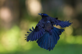Free Black Bird Picture for Android, iPhone and iPad