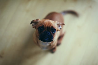 Baby Pug Picture for 320x240