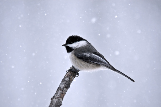 Titmouse Bird sfondi gratuiti per cellulari Android, iPhone, iPad e desktop