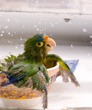 Happy Parrot Having A Bath sfondi gratuiti per Nokia Asha 311