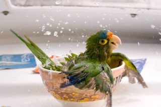 Happy Parrot Having A Bath Picture for Android, iPhone and iPad