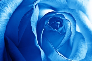 Blue Rose Background for Android, iPhone and iPad