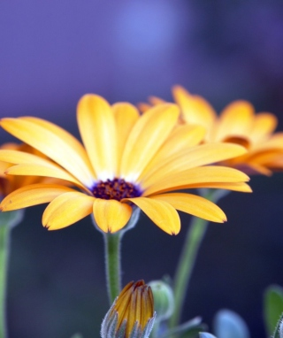 Free Rudbeckia Flowers Picture for Nokia Lumia 2520