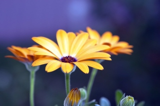 Rudbeckia Flowers Background for Android, iPhone and iPad
