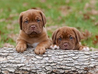 Dogs Puppies Dogue De Bordeaux Background for Android, iPhone and iPad