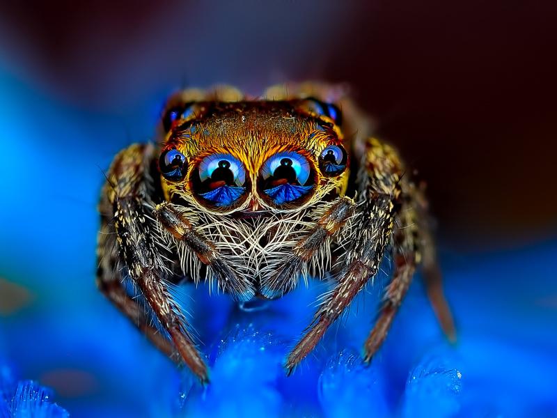 Bold-Jumper-Spider-800x600.jpg