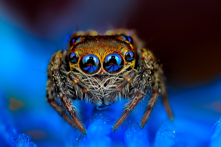 Bold Jumper Spider Wallpaper for Android, iPhone and iPad