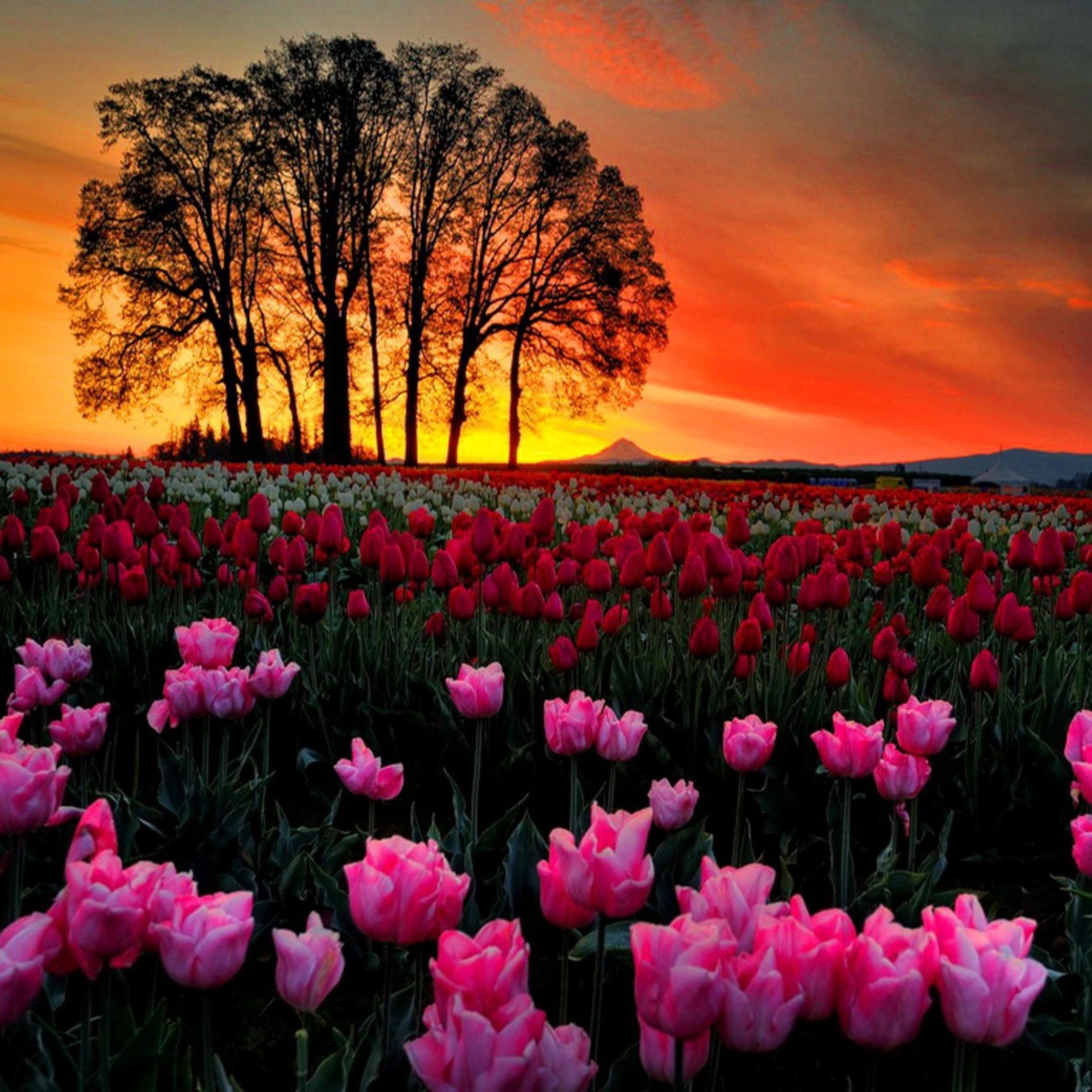тюльпаны поле розовые закат бесплатно