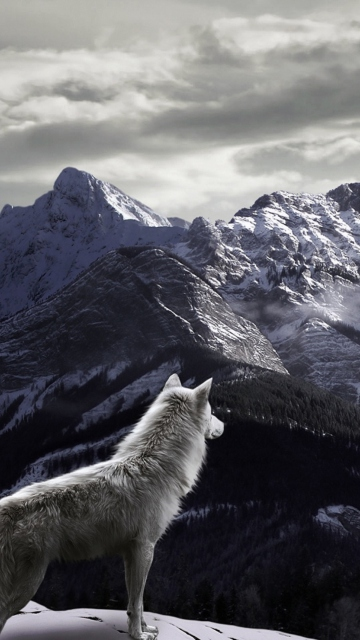White Wolf In Mountains