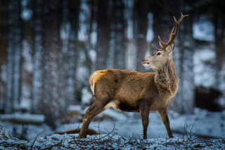 Deer in Siberia Background for Android, iPhone and iPad