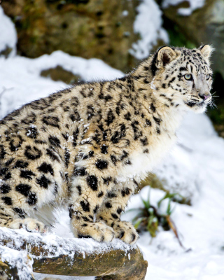 Snow Leopard Wallpaper for Nokia C-Series