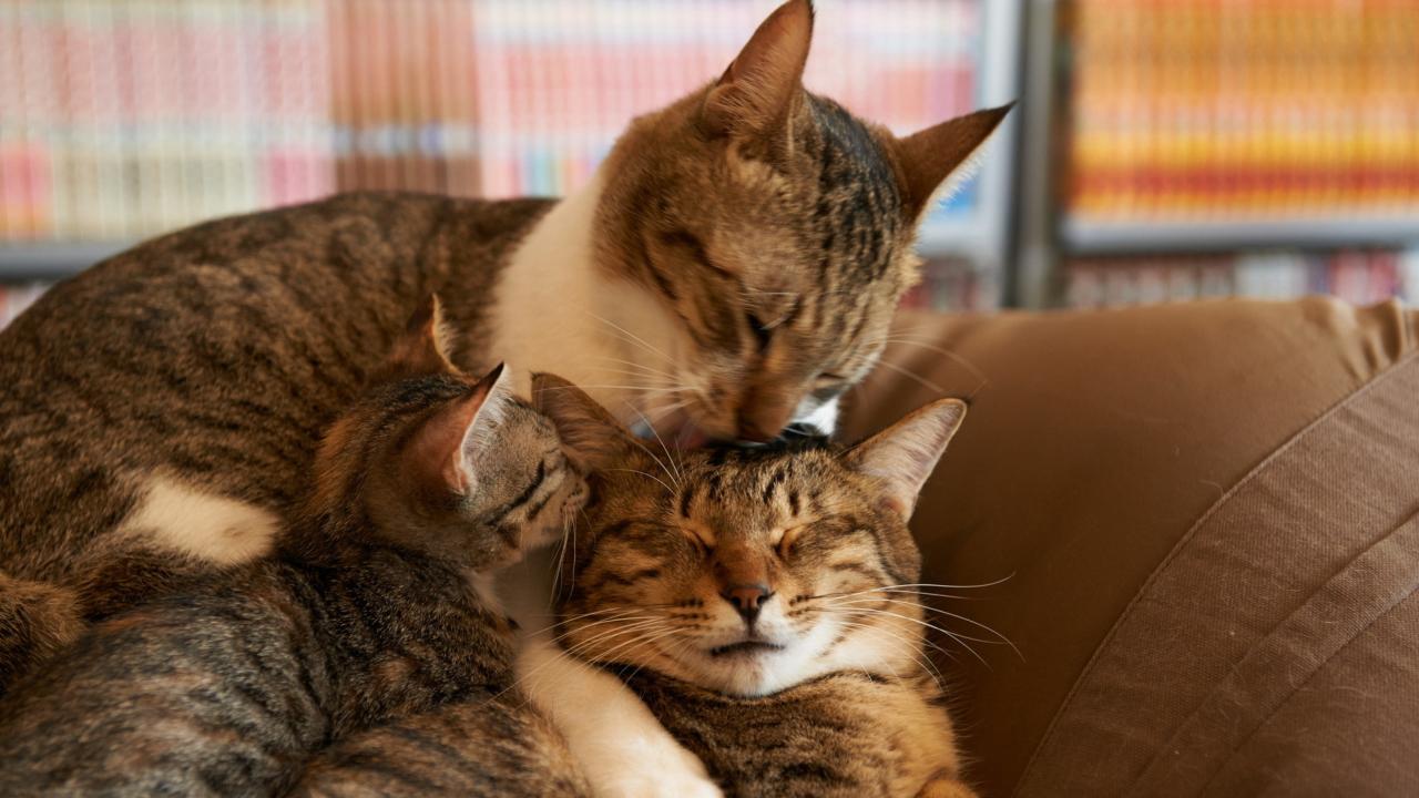 Cat Family