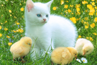 Kitten And Chickens Around Picture for Android, iPhone and iPad