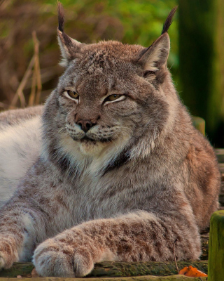 Eurasian lynx Picture for 480x640