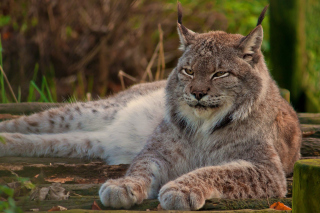 Eurasian lynx Wallpaper for Android, iPhone and iPad