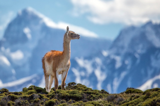 Lama in Peru Background for Android, iPhone and iPad