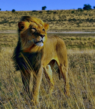 Lion In Savanna sfondi gratuiti per iPhone 6