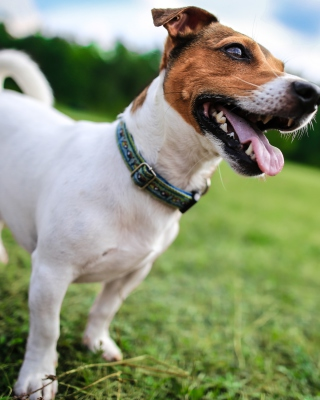 Jack Russell Terrier Wallpaper for Nokia Asha 308