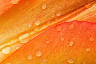 Dew Drops On Orange Petal Wallpaper for Android 2560x1600