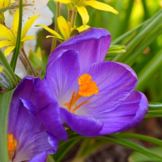 Spring Purple Crocus sfondi gratuiti per iPad mini