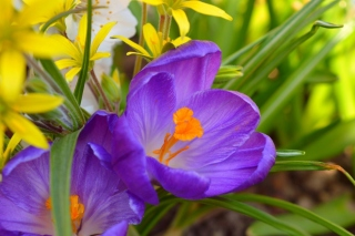 Spring Purple Crocus Wallpaper for Android, iPhone and iPad