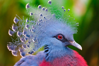 Victoria Crowned Pigeon Background for Android, iPhone and iPad