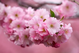 Cherry Flowers Wallpaper for Android, iPhone and iPad