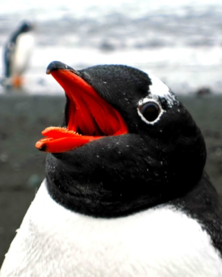 Penguin Close Up Background for Nokia Asha 306