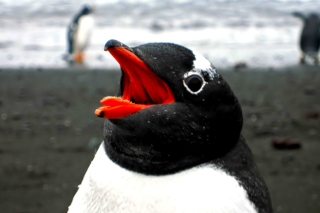 Free Penguin Close Up Picture for Android, iPhone and iPad