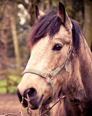 Free Horse Portrait Picture for Nokia C1-01