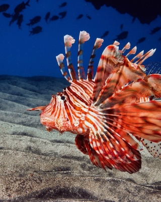 Pterois, Lionfish Wallpaper for Nokia C1-01