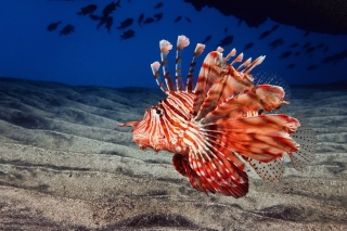 Pterois, Lionfish Background for Android, iPhone and iPad