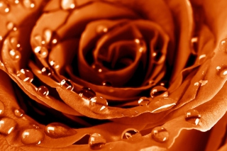 Golden Rose Background for Android, iPhone and iPad