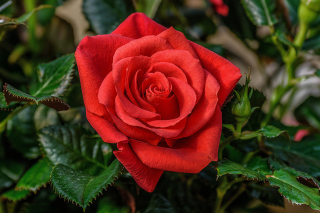 Lonely Red Rose Wallpaper for Android, iPhone and iPad