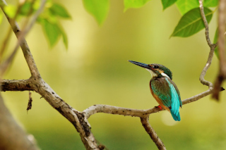 Kingfisher Picture for Android, iPhone and iPad