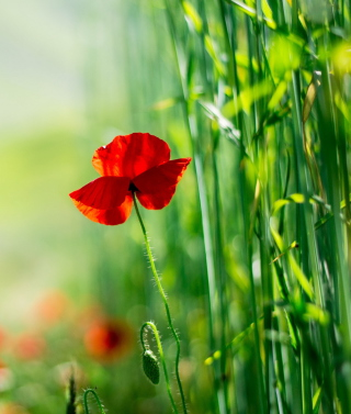 Red Poppy And Green Grass Picture for Nokia C1-01