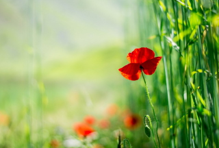 Red Poppy And Green Grass sfondi gratuiti per cellulari Android, iPhone, iPad e desktop