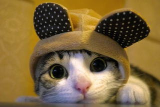 Free Cat Wearing Funny Hat Picture for Android, iPhone and iPad