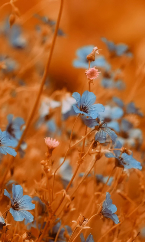 Blue Flowers Field wallpaper 480x800