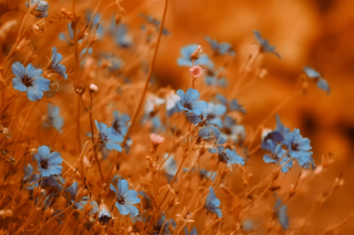Blue Flowers Field sfondi gratuiti per cellulari Android, iPhone, iPad e desktop