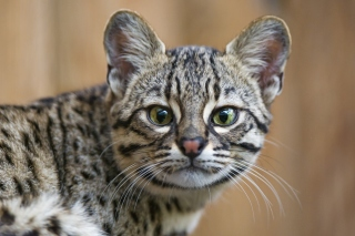 Exotic Cat Wallpaper for Android, iPhone and iPad