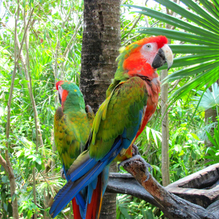 Macaw parrot Amazon forest sfondi gratuiti per iPad mini