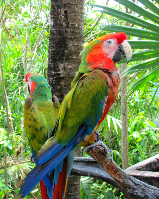 Macaw parrot Amazon forest Wallpaper for Nokia Asha 306