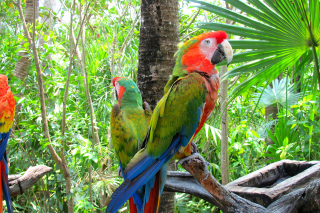 Macaw parrot Amazon forest Background for Android, iPhone and iPad