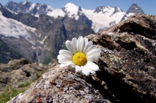 Daisy On Mountain Peak Wallpaper for Android, iPhone and iPad