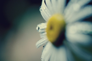 Daisy Macro Wallpaper for Android, iPhone and iPad