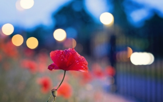 Poppy Flower And Blue Bokeh Background for Android, iPhone and iPad