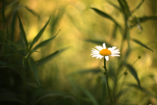 Single Daisy On Meadow Background for Android, iPhone and iPad