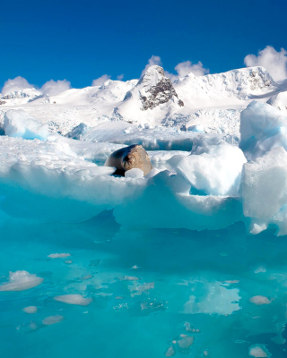 Free Seal in the Arctic ice Picture for HTC Titan
