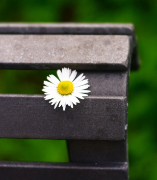 Kostenloses Lonely Daisy On Bench Wallpaper für Nokia Lumia 925